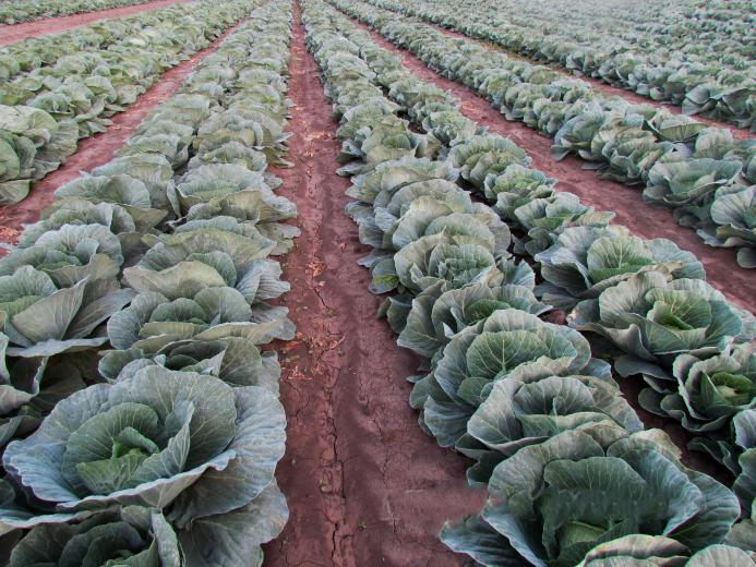 Насіння капусти Асканія (Askaniia LS) F1 120-125 дн.
