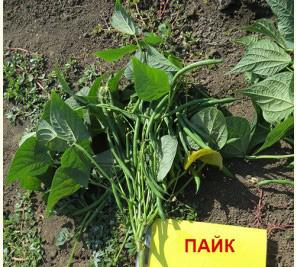Насіння квасолі Пайк F1 (Paik), 55дн., спаржева