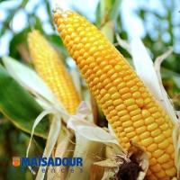 Насіння кукурудзи Мас 35.K