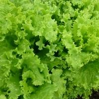 Насіння салату батавія KS 129