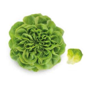 Насіння салату саланова Аквіно (Aquino RZ), зелений