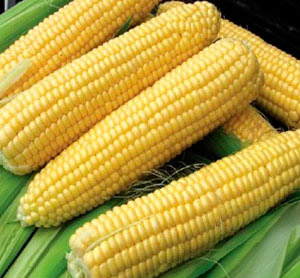 Насіння кукурудзи цукрової Болд F1