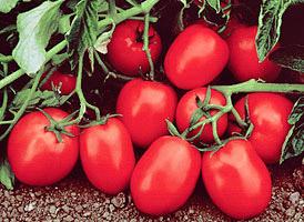 Насіння томата Чіблі F1 65-70 дн., детермінантний