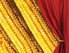 Насіння кукурудзи Фуріо, середньостиглий (ФАО 350)