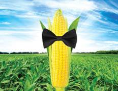 Насіння кукурудзи СИ Респект, середньоранній (ФАО 240)