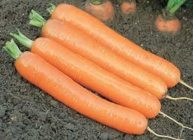 Насіння моркви Дордонь F1 115-120 дн.