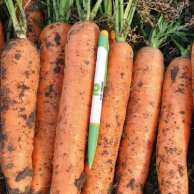 Насіння моркви Фідра (Fidra RZ) F1  Нантеc тип, 110 дн.