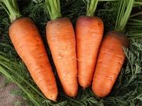 Насіння моркви Болтекс (Boltex), 110-120дн., шантане тип