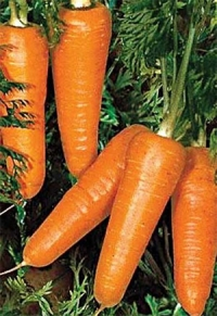Насіння моркви Редко 100-110 дн.