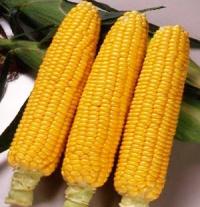 Насіння кукурудзи цукрової Світстар F1