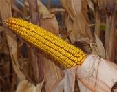 Насіння кукурудзи Капітал (ФАО 270)