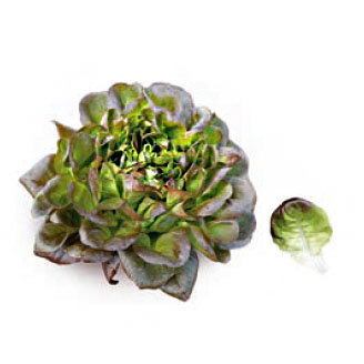 Насіння салату саланова Kлі (Klee RZ), зелений
