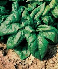 Насіння шпинату Лагос (Lagos), 40-45дн.