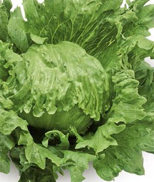 Насіння салату качанного Лагунас (Lagunas RZ)