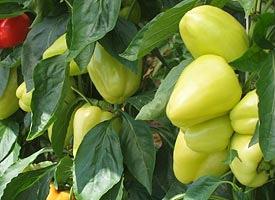 Насіння перцю солодкого Мінтос F1 65-70 дн.