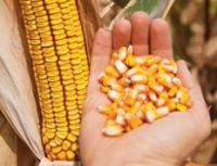 Насіння кукурудзи НК Кобальт, середньостиглий (ФАО 320)