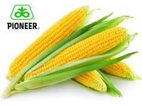 Насіння кукурудзи P9911 AQUAmax ФОРС ЗЕА