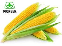 Насіння кукурудзи PR38А75 ФОРС ЗЕА