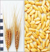 Насіння пшениці ярої Нащадок, тверда, еліта