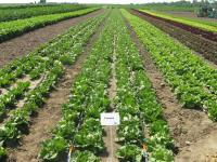 Насіння салату качанного Галера (GALERA)