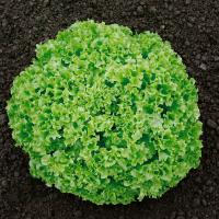 Насіння салату листового Онікс (ONYX)