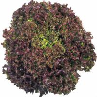Насіння салату листового Революція (REVOLUTION)