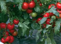 Насіння томата Силует F1, 70-75 дн., напівдетермінантний