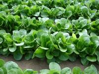 Насіння салату корн Акцент