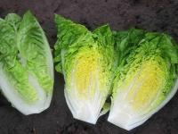 Насіння салату ромен Ксамена