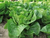 Насіння салату ромен Ксарома