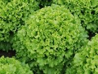 Насіння салату батавія Кайпіра