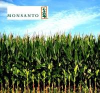 Кукуруза ДКС 4490, акселерон стандарт