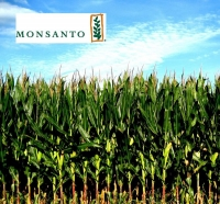 Кукуруза ДКС 4014, стандарт